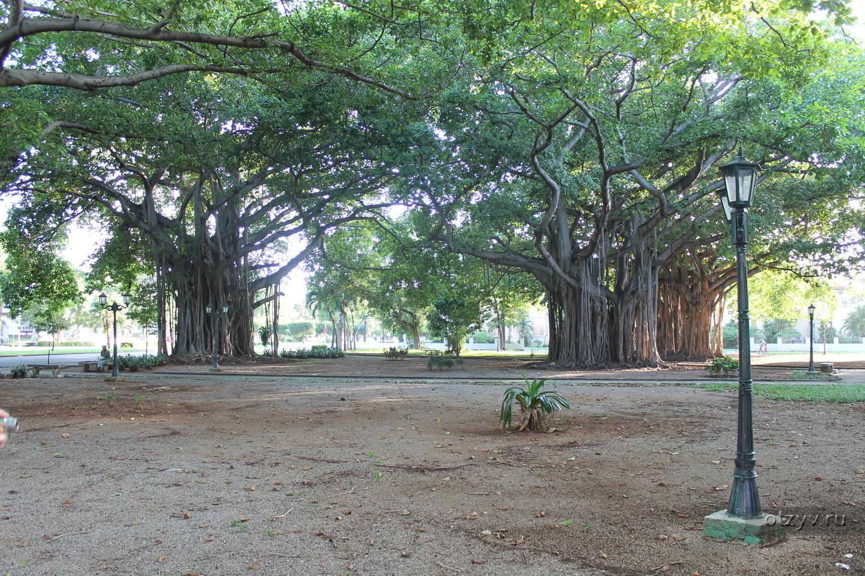 фото и названия деревьев кубы водителей, особенно старой