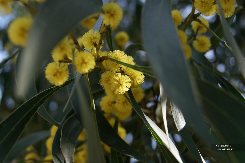 как цветет эвкалипт